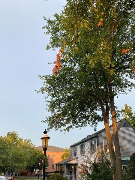 A tree in front of Old Brogue Irish Pub in Great Falls, VA shows signs of flagging.
