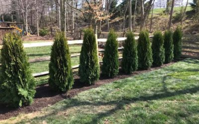 A row of arborvitae trees planted by Riverbend