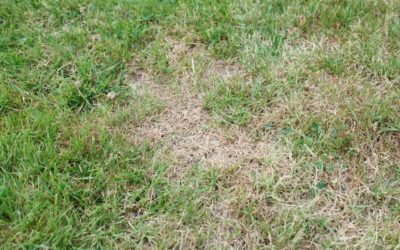 Dry, dead patches of grass in a lawn