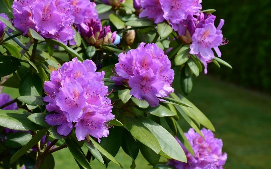 rhododendron shrub in bloom