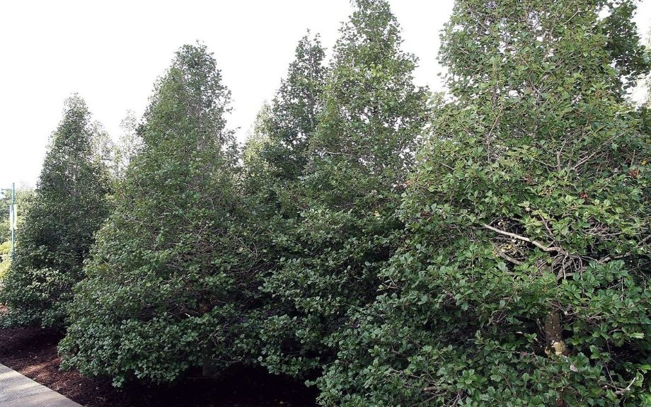 The 'Miss Helen' cultivar of American holly trees, planted to form a hedge. caption: This photo shows the 'Miss Helen' cultivar of American holly trees. Several have been planted together to form a hedge. I David J. Stang - source: David Stang. First published at ZipcodeZoo.com, CC BY-SA 4.0, https://commons.wikimedia.org/w/index.php?curid=61095414