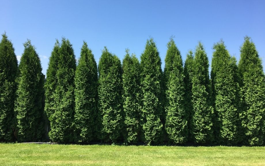 A living fence made of a row of arborvitae 'green giant' trees.