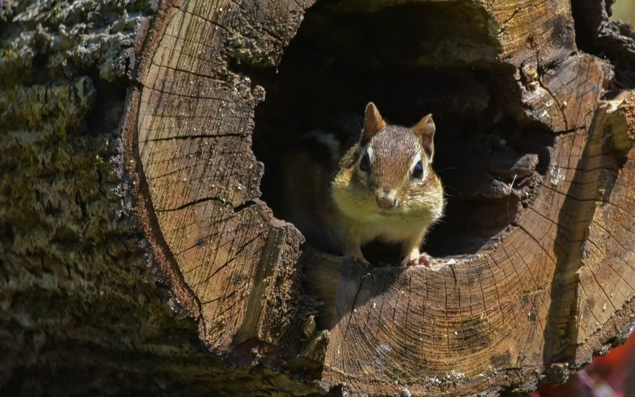 Squirrel looking at the camera from inside the hollow core of a tree that was cut down.