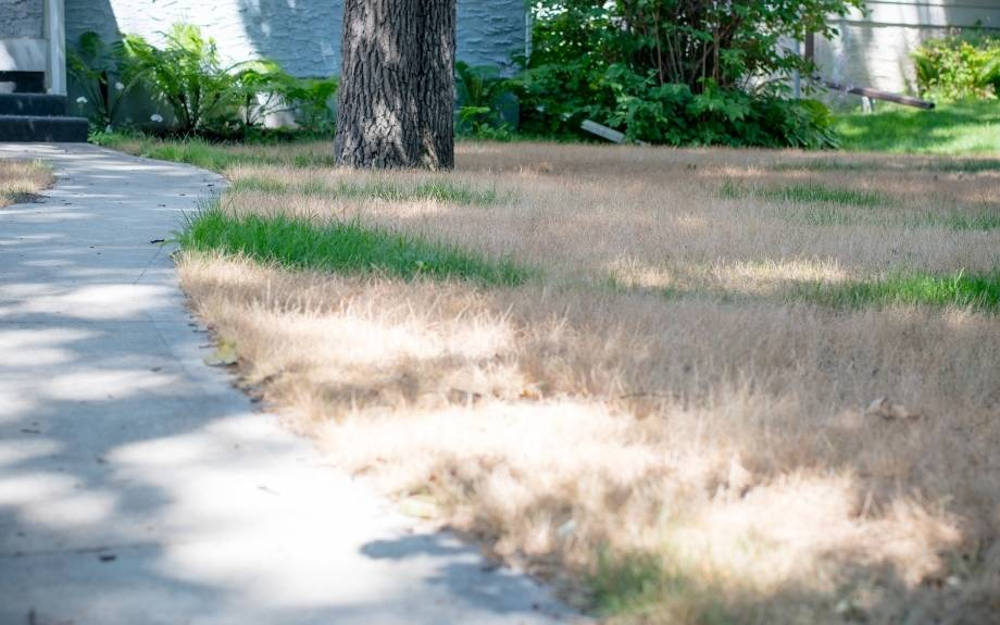 Dead grass in a lawn that wasn't watered enough in summer.