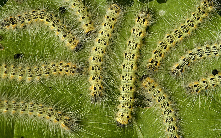 Leaf Eating Caterpillars Eastern Tent Caterpillar Gypsy Moth Fall Webworm Riverbend Landscapes Tree Service