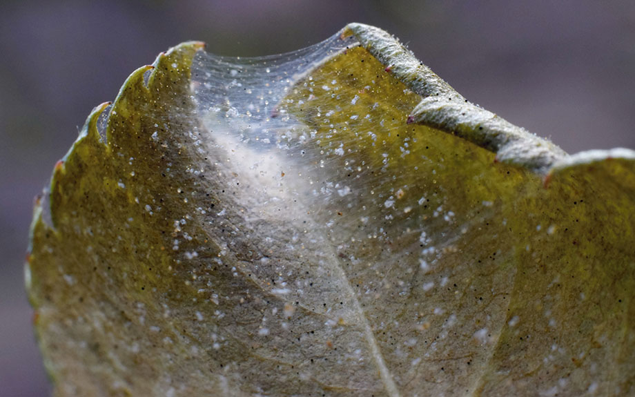 severe spider mite infestation on rose leaf